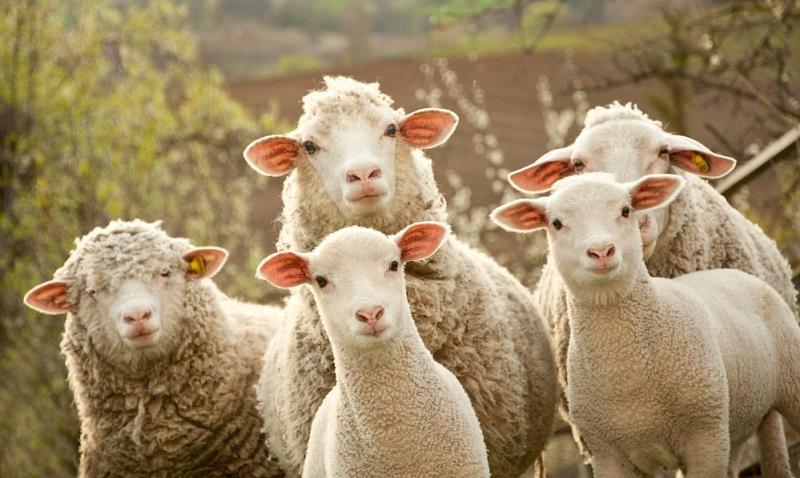 Кредиты в Тамбове на разведение овец